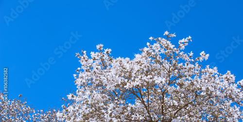 Foto op Plexiglas Magnolia White Magnolia Flowers In Spring