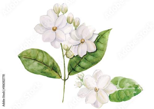 Fotografie, Obraz  Jasmine flowers with leaves  isolated on white background vector illustration