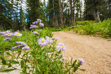 Showy Daisy/Fleabane Wildflowers Near A Dirt Road In Alpine Forest In Albion Basin Close To Salt Lake City