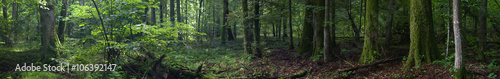 Poster de jardin Foret Summertime old rich stand of Bialowieza Forest in morning,Bialowieza Forest,Poland,Europe