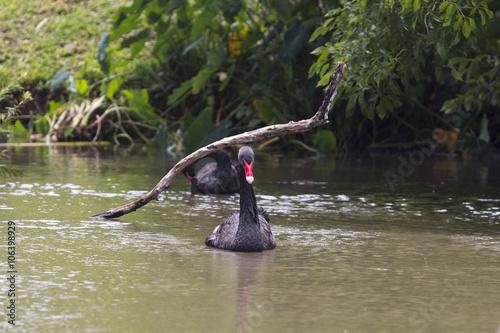 Fotobehang Vissen Black Swan in Casela Park - Mauritius