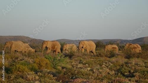 Canvas Prints Elephant Elefanten auf der Durchreise