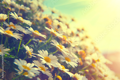 In de dag Madeliefjes Daisy flowers. Beautiful nature scene with blooming chamomiles
