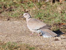 Eurasian Collared Dove, (Streptopelia Turtur)