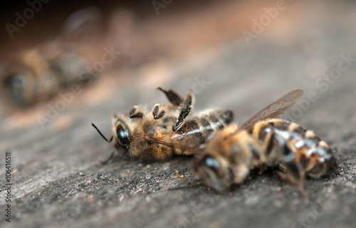 Photo sur Toile Bee dead bees
