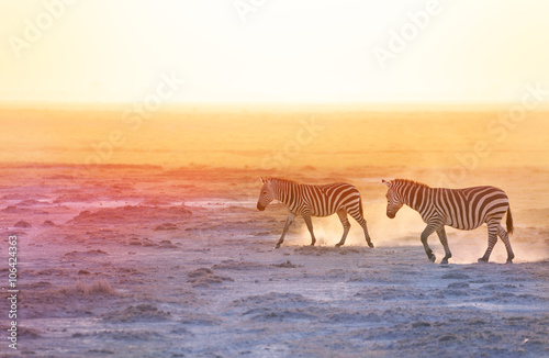 Poster Zebra Gorgeous zebras walking on dusty wilderness