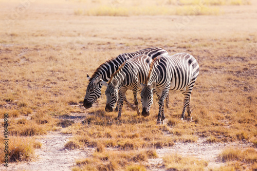 Three zebras pasturing at plain of Kenya, Africa