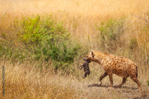 Spotted hyena female picks up her cub by the neck
