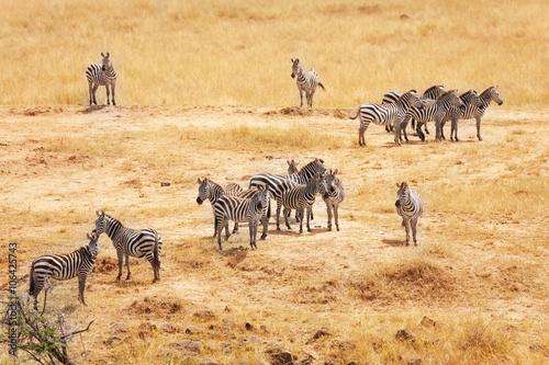 Fotobehang Great migration of zebras in Masai Mara, Africa