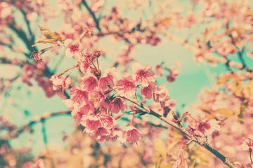 Panel Szklany Podświetlane Do biura cherry blossom vintage and sotf light for natural background