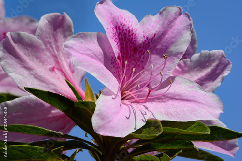 Single Pink Azalea Flower With Pink Flower And Blue Sky Background