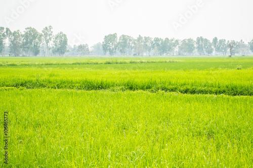 Poster Lime groen Rice field green grass
