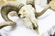 Goat Skull With Horns