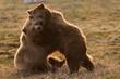 canvas print picture - Zwei Braunbären kuscheln miteinander