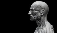 Head , Shoulder And Torso Anatomy , Human Head And Shoulder Muscular Anatomy In 3D Render In Black And White