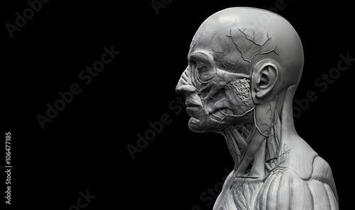 Head , shoulder and torso anatomy , Human head and shoulder muscular anatomy in Fototapeta