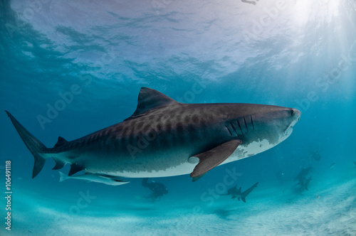 Keuken foto achterwand Turkoois A tiger shark with beautiful markings swimming in clear water with light rays coming through the surface.