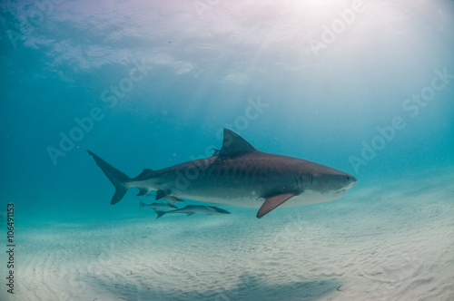 A tiger shark swimming along peacefully in shallow, clear