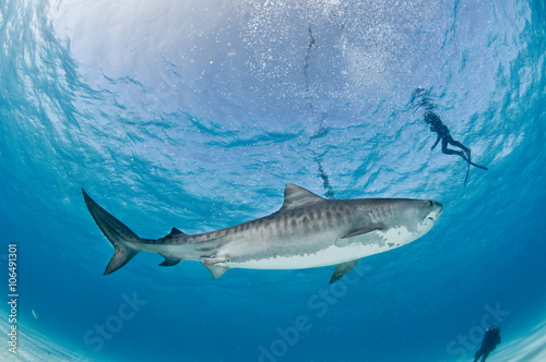 Photo  Tiger shark swimming peacefully past a group of scuba divers in shallow, clear water