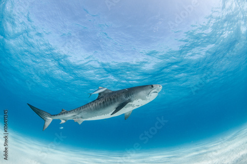A tiger shark swimming by accompanied by a brave fish