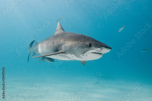 A tiger shark swimming alone in the shallows of a clear, blue ocean Canvas Print