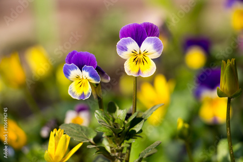 Pansies Pansy Spring Flower