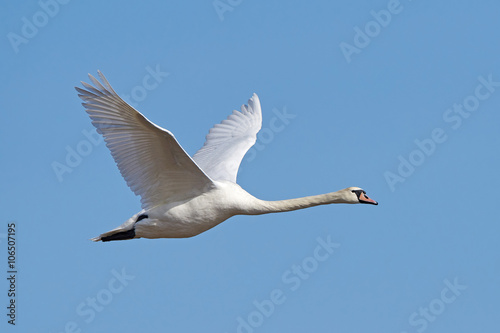 Poster Cygne Mute swan (Cygnus olor)