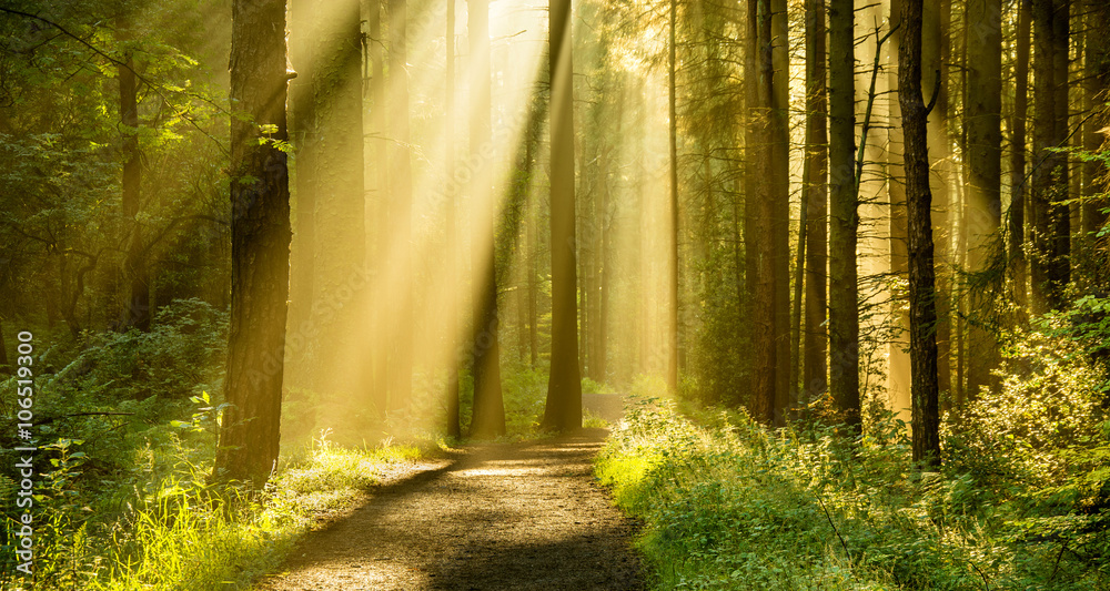Fototapeta Golden rays of light shining through tree canopies on an Autumn morning with path in a forest.