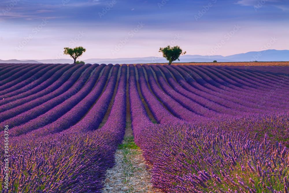 Beautiful colors purple lavender fields near Valensole, Provence