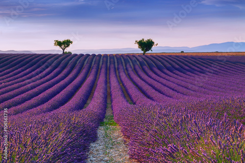 Poster Lavendel Beautiful colors purple lavender fields near Valensole, Provence
