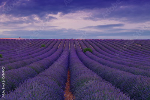 Foto op Aluminium Snoeien Beautiful colors purple lavender fields near Valensole, Provence