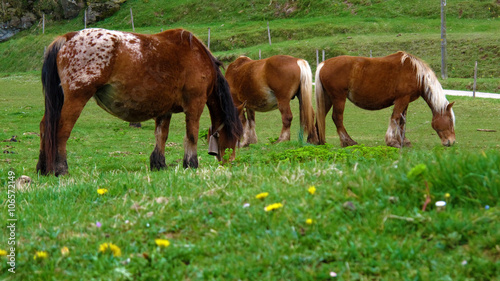 Fotografering  Grazing pony