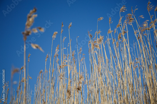 Cuadros en Lienzo Spikes grass sedge dry on the background of blue sky