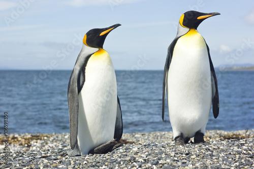Photo sur Toile Pingouin two king pinguins near sea