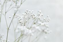Gypsophila Flower (Baby's-brea...