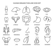 Organ Line Icons. Human Organ Signs Or Human Body Parts Symbols. Tooth And Brain Line Icons, Eye And Liver Symbols. Vector Illustration