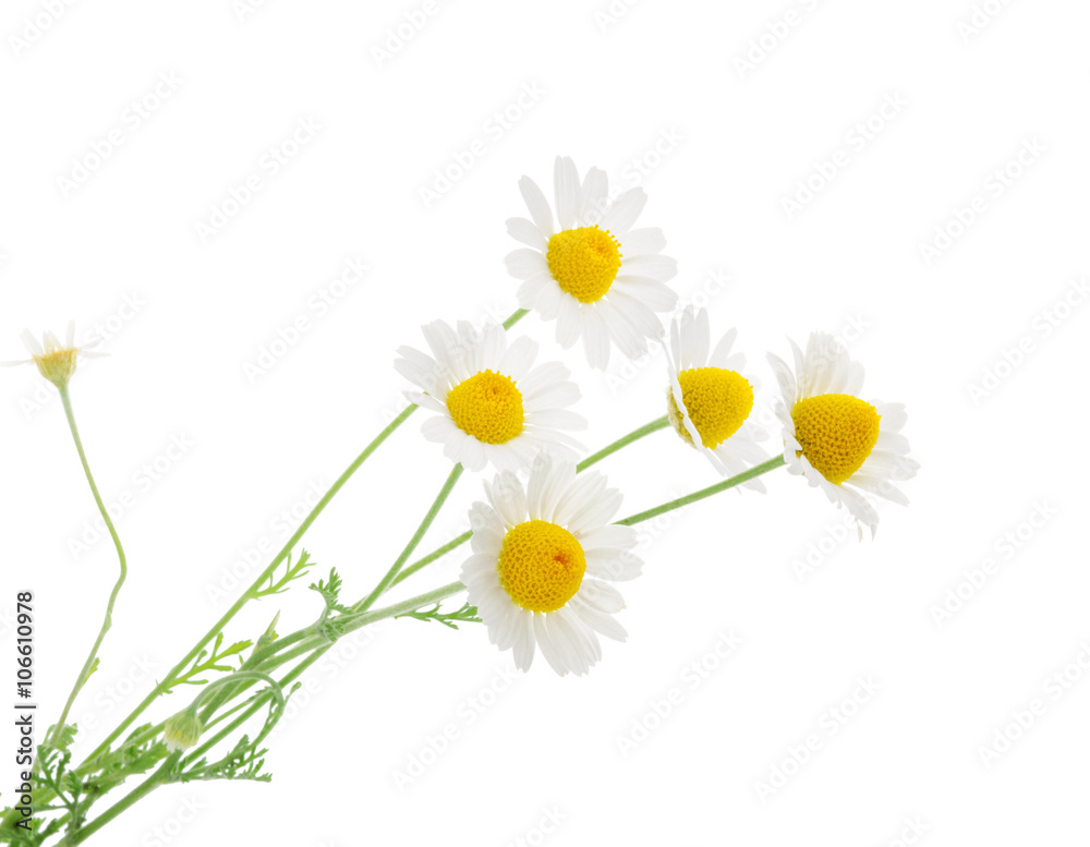 Fototapety, obrazy: Chamomiles isolated on white background. without shadow
