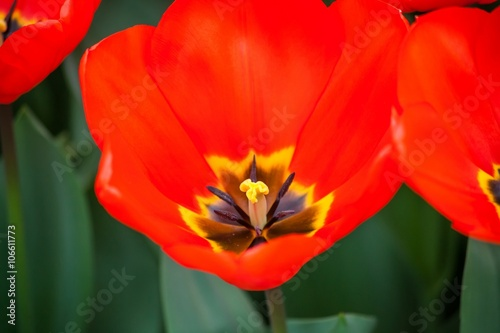 Foto op Canvas Baksteen Red Tulip Macro Springtime Background
