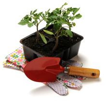 Solanum Lycopersicum طماطم Rajče Jedlé Rajčica Pomodoro Paradicsom Növényfaj Roșie Pomidor Zwyczajny Tomate
