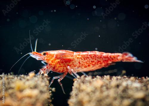 Cherry shrimp tank