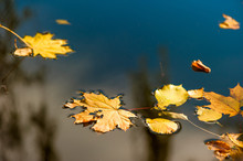 Water Surface And Yellow Fallen Leaves Close-up
