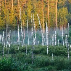 FototapetaSwamp with birch trees in Latvia