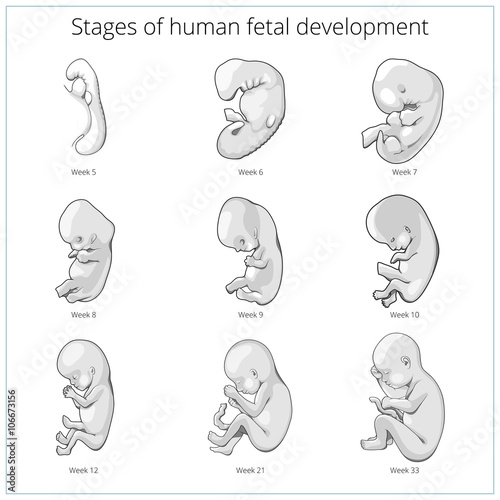 Fényképezés  Stages of human fetal development schematic vector