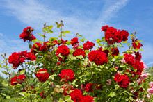 Red Climbing Rose Isolated On Blue Sky.