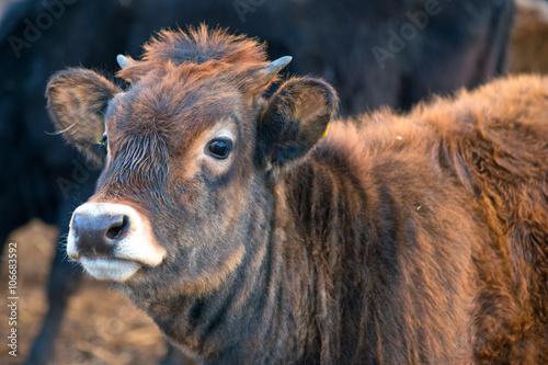 Fényképezés  Curious brown calf