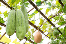 Luffa Gourd Plant Hanging On T...