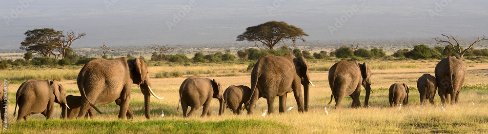 Fototapety, obrazy: African elephants, Amboseli National Park, Kenya