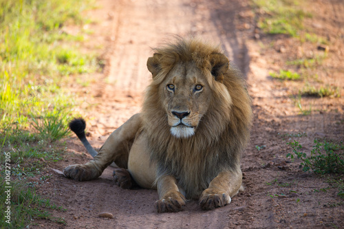 Poster Lion Big lion on the african savannah in Tanzania