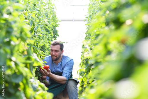 Fotografía  Bauer erntet reife tomates im Gewächshaus - arbeitet auf dem Bauernhof in der La