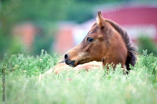 Fotografia Arabian foal lying in field in a grass